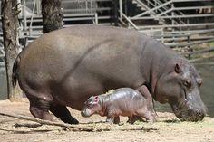 http://www.animalfactguide.com/wp-content/uploads/2014/09/hippo3.jpg