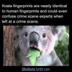 1000 Images About Koalas On Pinterest Koala Bears Baby