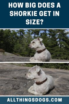The Shorkie size can be classified as toy or miniature. As they are a hybrid, it's difficult to predict exactly how big your Shorkie will get. As a guide, he should weigh between 5-12 lbs and stand between 5-9 inches tall! Read on for more deyails,  #shorkie #shorkiesize #shihtzuyorkiemix Shorkie Dogs, Miniature Dog Breeds, Cute Dogs Breeds, Small Breed, Rottweiler, Shih Tzu, Yorkie, Toy, Animals