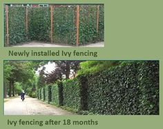 tall fences with chicken wire and ivey - Google Search