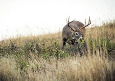 Talk to the Tail: Understanding Whitetail Body Language Whitetail Hunting, Deer Hunting Tips, Bow Hunting, Deer Tags, Crop Field, Leafy Plants, Out Of The Woods, Travel Route, Good Buddy