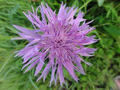 bloem van de bieslook