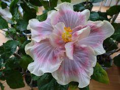 Grand Hyatt x T. Hibiscus Flowers, Tropical Flowers, Garden Trees, Garden Plants, Rare Flowers, Beautiful Flowers, Hibiscus Rosa Sinensis, Grand Hyatt, Rose Of Sharon