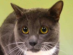 I have been adopted! 12/30/14 Manhattan Center  My name is LELO. My Animal ID # is A1022873. I am a male blue and white domestic sh mix. The shelter thinks I am about 6 YEARS old.  I came in the shelter as a STRAY on 12/11/2014 from NY 10016, owner surrender reason stated was NO ANSWER.  MOST RECENT MEDICAL INFORMATION AND WEIGHT 12/25/2014 Exam Type VACCINATE - Medical Rating is 3 C - MAJOR CONDITIONS , Behavior Rating is AVERAGE, Weight 9.8 LBS.