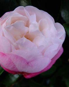 口に入れたら きっととろけるような甘い砂糖菓子。 そう思わせて引き寄せられるのは ムシもニンゲンも同じ。 ってことでこの仕様なんだろか。   #flower #花