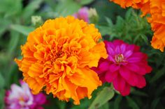 Summer Flowers: Orange Marigold and Pink Zinnia. Marigolds are great companion plants for tomatoes, nematode