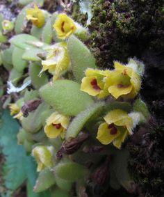 Trichotosia dasyphylla (C.S.P.Parish & Rchb.f.) Kraenzl.