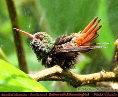 RUFOUS-TAILED HUMMINGBIRD Amazilia tzacatl Taking a Shower in Mindo in Northwestern ECUADOR. Hummingbird Photo by Peter Wendelken.