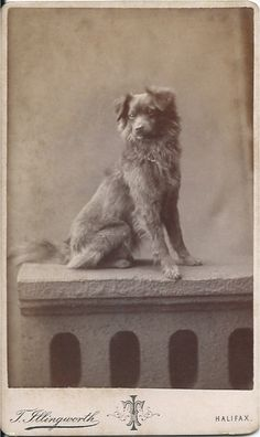 """cdv portrait of Nova Scotia Duck Tolling Retriever sitting on a photographer's """"stone"""" wall. Photo by T Illingworth, 41 Crown St. From bendale collection Vintage Postcards, Vintage Photos, Pet Dogs, Dog Cat, Nova Scotia Duck Tolling Retriever, Black And White Dog, Vintage Dog, Dog Photos, Dog Stuff"""