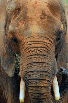 Elephant on safari Elephants Never Forget, Save The Elephants, Beautiful Creatures, Animals Beautiful, Cute Animals, Elephas Maximus, Photo Animaliere, Elephant Love, Funny Elephant