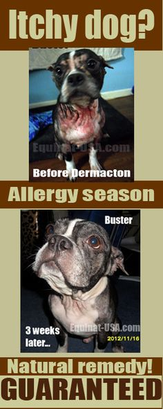 Boston Terrier with hives hair loss seasonal allergies finds relief with natural product with money back guarantee #dogs #allergies #rash #skin #problems