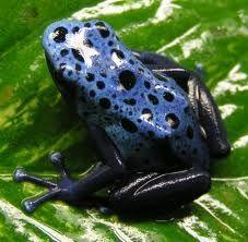 Cette grenouille de la race Okopipi est une grenouilles bleu tachetés que l'on trouve souvent sur le chemin pour aller  lac . Elles se déplace toujours en groupe et jouent avec les enfants de la tribu .Se sont de vrai animaux de compagnies .