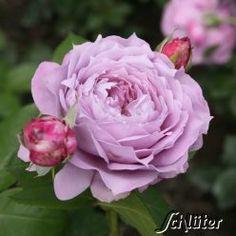die 58 besten bilder von rosen im k bel rosen topfgarten und garten
