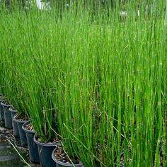 Options Yellow Plants, Sun Plants, Bamboo Plants, Outdoor Plants, Live Plants, Pool Plants, Nandina Plant, Lemon Lime Nandina, Horsetail Reed