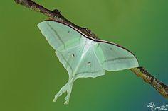 Lunar Moth, Plant Leaves, Plants, Animals, Animales, Animaux, Plant, Animal, Animais