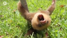 Whoa, Slow Down!  It's Sloth Week!  Click for a sweet video
