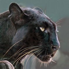 A black panther is not a species in its own right; the name black panther is an umbrella term that refers to any big cat with a black coat. Beautiful Cats, Animals Beautiful, Animals And Pets, Cute Animals, Wild Animals, Baby Animals, Gato Grande, Black Jaguar, Spirit Animal
