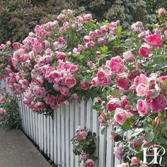 Rose Gardening Carefree Wonder™ 'Carefree Wonder' lives up to its name. This easy to grow rose produces semi-double cupped blooms of china-pink with a creamy white reverse. A disease-resistant compact bush that blooms profusely. An American Award Winner
