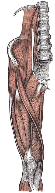 Muscle ilio-psoas — Wikipédia