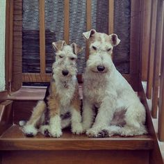 A pair of really dangerous wire fox terriers