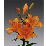 Orange Tycoon Asian Lilies, Lily, Orange, Plants, Orchids, Flora, Plant, Lilies