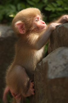 """""""Snow Monkey"""" Japanese macaque"""