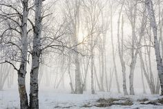 Ontario, Canada Birch Trees In The Fog Photograph by Susan Dykstra