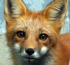 Fox lookin' at you