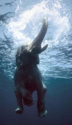 Elephant swimming under water.