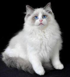 Rag doll cat.. want one soo bad!!