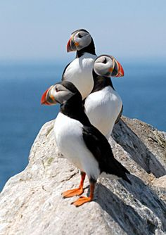 puffins | The Atlantic Puffins of Machias Seal Island - By Mary Doo