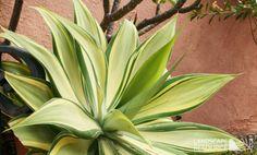 agave attenuata variegata - Google Search