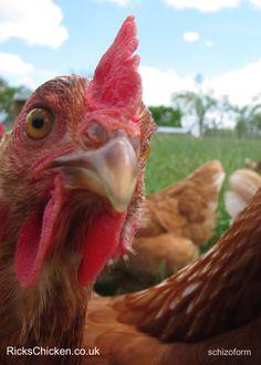 Chickens love taking selfies
