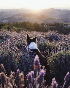 """Gefällt 1.3 Mio. Mal, 4,737 Kommentare - Instagram (@instagram) auf Instagram: """"Two of Vanessa Miura's (@vmiura) favorite things — lavender fields and her dog, Suri — came…"""""""