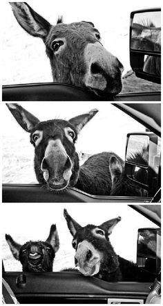 'hello' donkeys (by @rivetedblog)