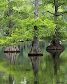 How amazing are these Cypress trees #trees #nature #inspiration #imagination www.kikau.com.au