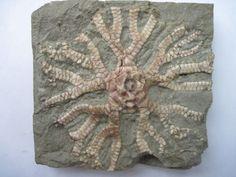Stellarocrinus bilineatus