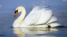 SUPER ANIMAL: Swan