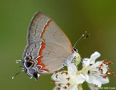 Red-banded Hairstreak ; What a beauty.