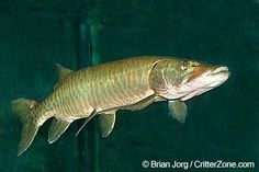 1000 images about fish found in ohio on pinterest lake for Ohio state fish