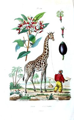 Dictionnaire pittoresque d'histoire naturelle et des phénomènes de la nature (1835).