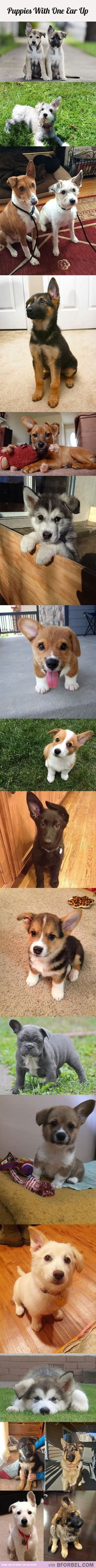 18 Puppies With One Ear Up…