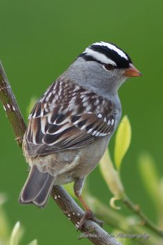 "The ""White-crowned Sparrow"" (Zonotrichia leucophrys) is a medium-sized sparrow native to North America. These birds forage on the ground or in low vegetation, but sometimes make short flights to catch flying insects. They mainly eat seeds, other plant parts and insects. In winter, they often forage in flocks. They nest either low in bushes or on the ground under shrubs"