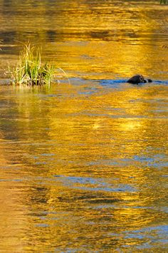 River of California Gold - blazing fall aspen reflection