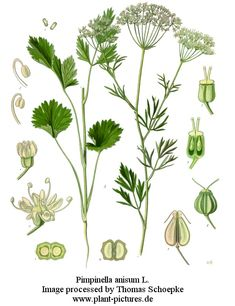 Pimpinella Anisum, Common Anise. Annual. Cooking, Medicinal, Beauty.