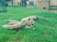 PARKVIEW – Here's why the lions look underfed, according to the Johannesburg Zoo.