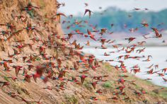 A spectacular carmine bee-eater colony, photographed earlier this month in South Luangwa.