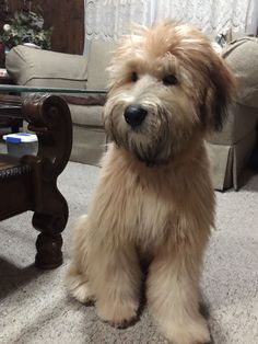 Remington My 6 Month Old Soft Coated Wheaten Terrier #Terriers