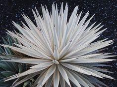Agave angustifolia Woodrowii Las Manchas La Palma(S. van Dort)