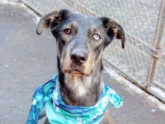 TO BE DESTROYED - 03/10/15 Manhattan Center -P  My name is NORTH. My Animal ID # is A1028997. I am a female blk smoke and tan labrador retr and germ shepherd mix. The shelter thinks I am about 1 YEAR 1 MONTH old.  I came in the shelter as a STRAY on 02/27/2015 from NY 10022, owner surrender reason stated was STRAY. https://www.facebook.com/photo.php?fbid=969854436360769